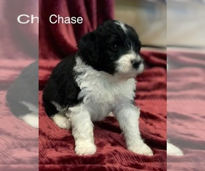 Portuguese Water Dog Puppy for sale in BALDWIN CITY, KS, USA