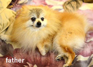 Father of the Pomeranian puppies born on 11/23/2016