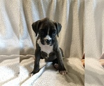 Boxer Puppy For Sale in PLEASANT HILL, IL, USA