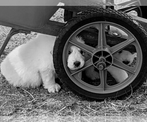Medium Photo #102 Great Pyrenees Puppy For Sale in FALCON, CO, USA