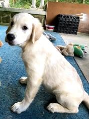 Golden Retriever Puppy For Sale in HOKENDAUQUA, PA, USA