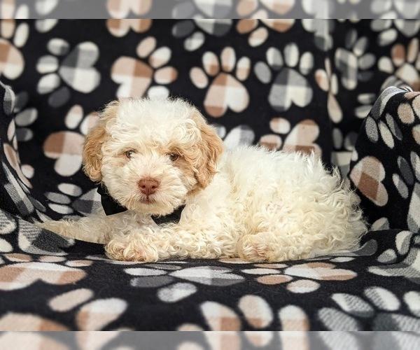 Medium Photo #4 Shih-Poo Puppy For Sale in LINCOLN UNIV, PA, USA