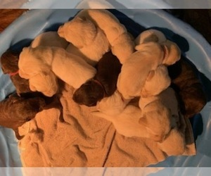 Labradoodle Puppy for sale in RICHLAND, MO, USA
