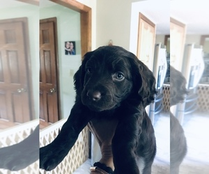 Boykin Spaniel Puppy for Sale in HAMBURG, New York USA