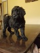 Double Doodle Puppy For Sale in ELKHORN, NE, USA