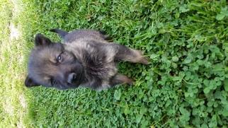 German Shepherd Dog Puppy For Sale in LEBANON, KY, USA