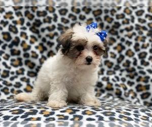 Maltipoo Puppy for sale in LAKELAND, FL, USA