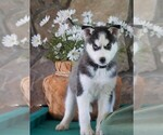 AKC Siberian Husky For Sale Holmesville OH Female