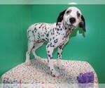 Small #2 Dalmatian