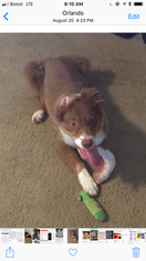 Australian Shepherd Puppy For Sale in ORLANDO, FL, USA
