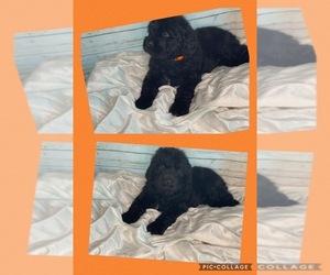 Newfoundland Puppy for sale in ADAMS, TN, USA