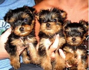 View Ad Yorkshire Terrier Puppy For Sale Near Colorado Denver Usa