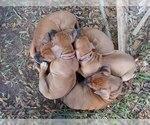 Small #9 Rhodesian Ridgeback