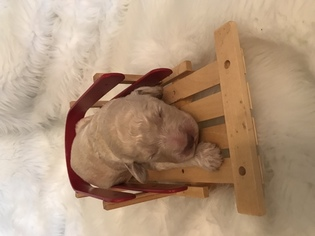 Goldendoodle Puppy For Sale in KINGSPORT, TN, USA
