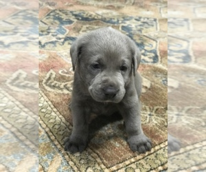 Labrador Retriever Puppy for Sale in WEIR, Kansas USA