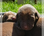 Labrador Retriever Puppy For Sale in OLYMPIA, WA, USA