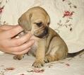 Puggle Puppy For Sale in VICTORIA, VA