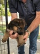 German Shepherd Dog Puppy For Sale in EAGLE PASS, Texas,