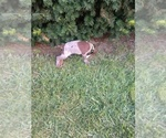 Small #17 German Shorthaired Pointer