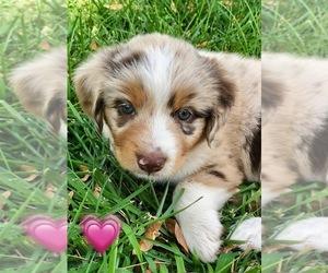 Miniature Australian Shepherd Puppy for sale in WOODWARD, OK, USA