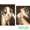 English Bulldog Puppy For Sale in PROSPECT, TN, USA