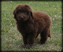 Chocolate Female Shepadoodle Puppy