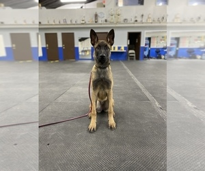 Dutch Shepherd Dog-Malinois Mix Puppy for Sale in HIGH RIDGE, Missouri USA