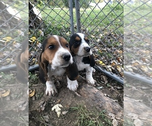 Basset Hound Puppy for sale in BLACK RIVER FALLS, WI, USA