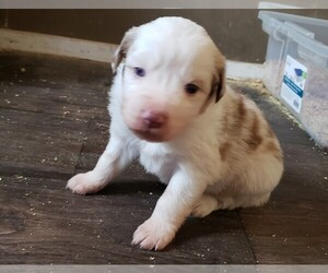 Miniature Australian Shepherd Puppy for sale in BOLCKOW, MO, USA