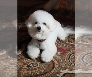 Father of the Bichon Frise puppies born on 05/19/2020