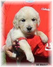 Golden Retriever Puppy For Sale in TWO RIVERS, WI, USA