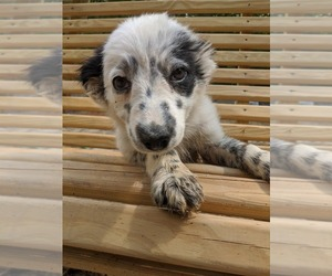 Border Collie Puppy for Sale in SPENCER, Tennessee USA
