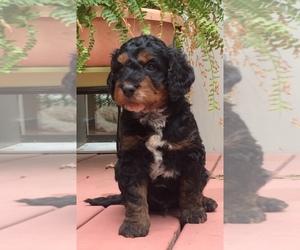 Springerdoodle Dog for Adoption in MADISON, Wisconsin USA