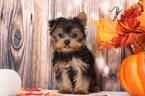 Marley Little Sweet Male Yorkie Puppy