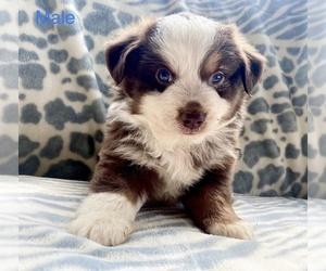 Australian Shepherd Puppy for sale in BLOOMBURG, TX, USA