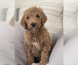 Goldendoodle Puppy for Sale in EL PORTAL, Florida USA