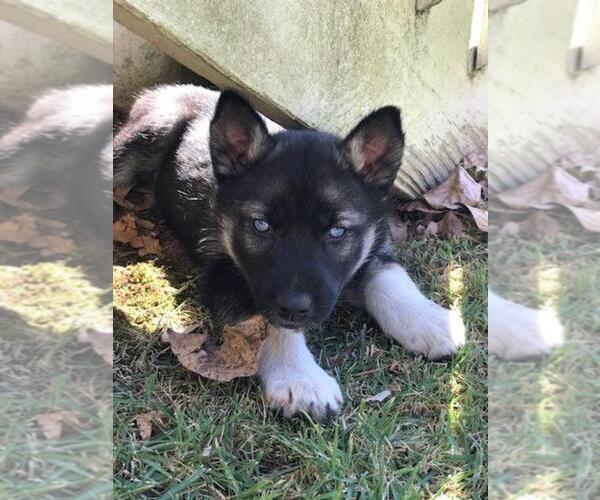 Medium Photo #1 Wolf Hybrid Puppy For Sale in HARRISON, AR, USA