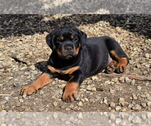 Rottweiler Puppy for sale in WEST BROOKFIELD, MA, USA