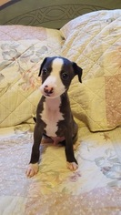 Italian Greyhound Puppy For Sale in LITCHFIELD, IL, USA