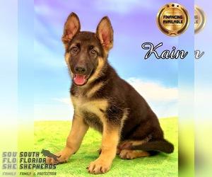 German Shepherd Dog Dog for Adoption in MIAMI, Florida USA