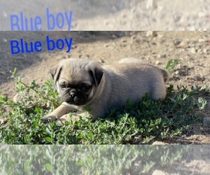 Pug Puppy for sale in CORONA, CA, USA