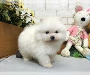 Pomeranian Puppy for sale in MANHATTAN, NY, USA