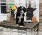 Small #8 Bernedoodle