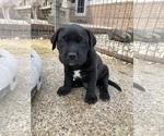 Puppy 4 Mastador