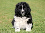 Newfoundland Puppy For Sale in MOUNT JOY, PA, USA