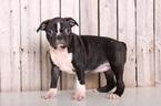 Bea Female Boston Terrier