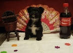 Yoranian Puppy For Sale in APOPKA, FL, USA