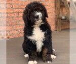 Small Photo #1 Bernedoodle Puppy For Sale in NARVON, PA, USA