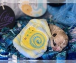 Small #5 Bullhuahua-Chihuahua Mix