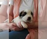 Puppy 4 Newfoundland-Saint Bernard Mix